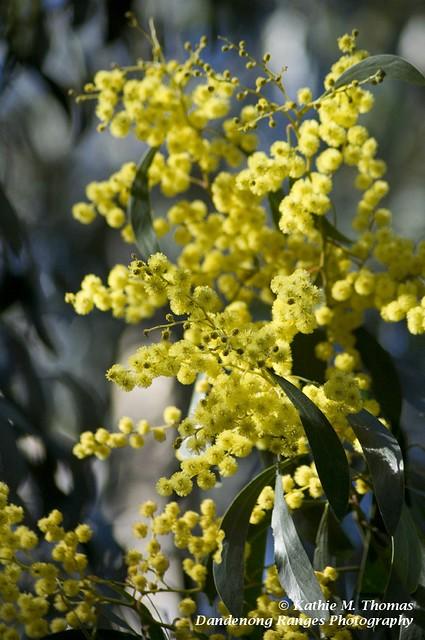 232-365 Wattle Blossom