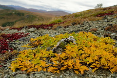 High altitude tundra vegetation