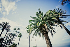 reading palms (smalldogs) Tags: california trees sky clouds palms losangeles santamonica wideangle frombelow lookingup palmtrees socal palmtree southerncalifornia palmfronds 1635mm