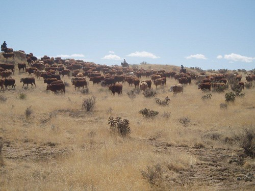 cattle at chico