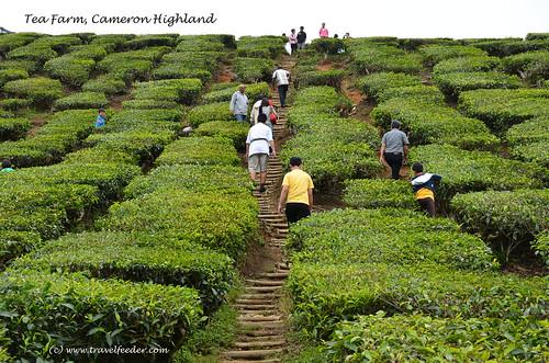 tea farm at Cameron Highland6