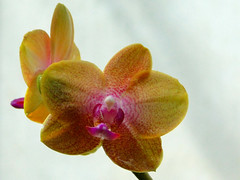 Belle Isle Orchids (Maia C) Tags: orchid conservatory comment belleisle maiac sonydschx1