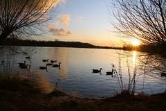 IMG_6056 (christophemurphy) Tags: sunset lake geese swan ducks boating rickmansworth aquadrome