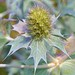 Sea Holly Eryngium maritimum Sandwich Bay
