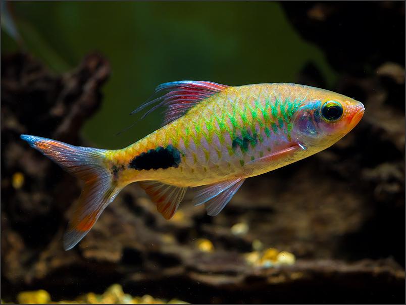 Filament Barb – Dawkinsia Filamentosa | Tropical Fish Site