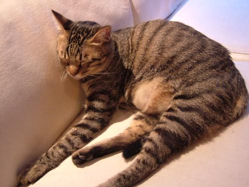 睡覺中的虎斑