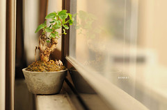[249/365] Bonsai (Dodzki) Tags: nikon september pcc 2011 cebusugbo d5000