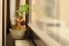 [249/365] Bonsai (Dodzki) Tags: nikon september pcc 2011 cebusugbo d5000