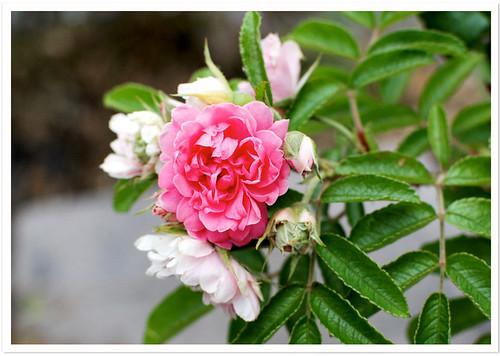 Final Roses