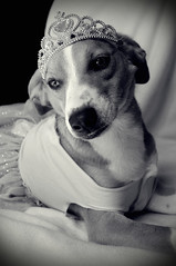 Poised and Sweet (Leah Fauller) Tags: dog beagle puppy mutt ballerina princess dogincostume catahoulialeopard