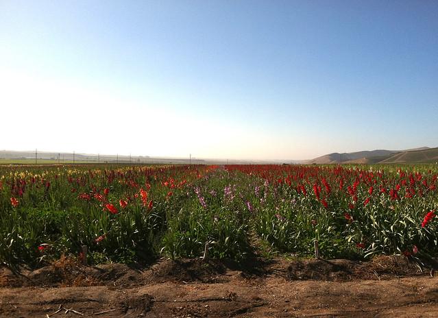 Vineyard 2011 Field of Flowers 2.jpg