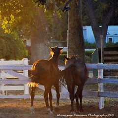A Pair of Sunlit Horses (lhg_11/ Thanks you for 500,000 views of 6,371 iima) Tags: ranch horses nature rural photography sunsetlight hiddenvalley venturacounty corral diffusedlight fencerails nikond90 lawrencegoldman lhg11