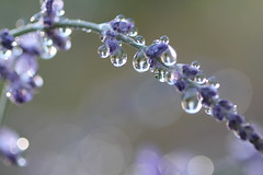 russian sage (spiralgirl1) Tags: summer water garden drops purple sage russian