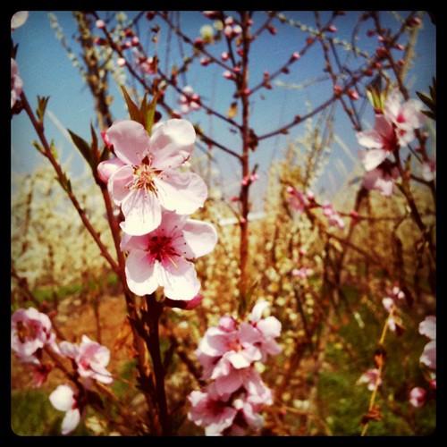 Duraznos en flor