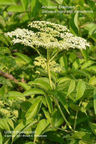 Common Elderberry, American Elderberry, American Black Elderberry - Sambucus nigra ssp. canadensis