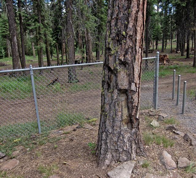 Shrapnel Tree - Mitchell Monument, Bly, Oregon