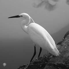 MK096282 () Tags: birds animals olympus ep1 xenar75mm38