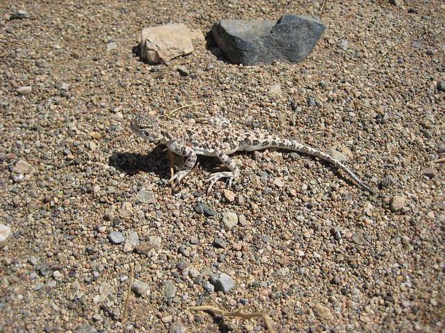 Ящерица-круглоголовка