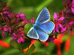 Blue Beauty (sam2cents) Tags: blue ireland male nature butterfly metallic wildlife lepidoptera alive wicklow sheen willowherb commonblue animalkingdomelite