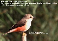 Vermillion flycatcher Birding Peru (5) (Nature Expeditions 06) Tags: trip vacation urban bird peru nature birds holidays tour lima birding stefan andes trips guide vermilion peruvian vermilionflycatcher flycatcher sanisidro pyrocephalusrubinus expeditions tyrannidae pyrocephalus rubinus elolivar birdguide lomasdelachay pantanosdevilla natureexpeditions birdinginperu austermhle birdingperu birdinginlima flycatchersofperu