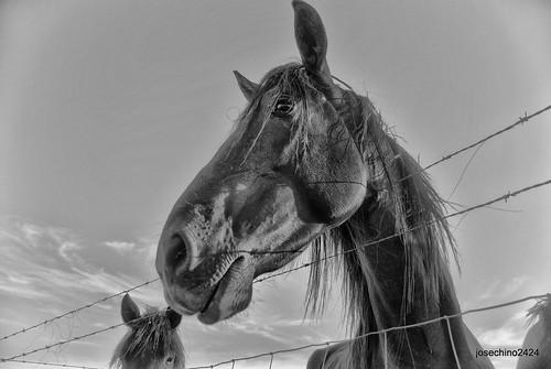Un caballo muy docil.