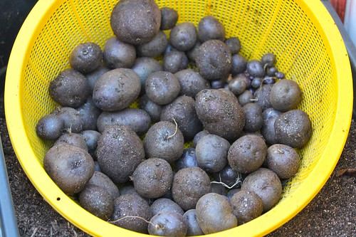 Purple Potato Harvest