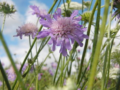 Field Scabious (Alex Staniforth: Wildlife/Nature Photography) Tags: summer alex photography cheshire photos outdoor wildlife group pic casio staniforth stani exfh20
