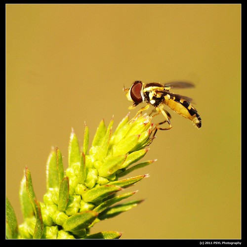 Unknown Hover Fly