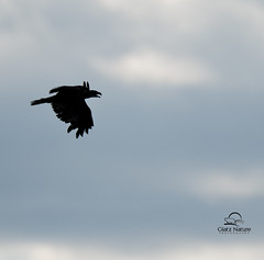 Young Bald Eagle Silhouette (Glatz Nature Photography) Tags: minnesota birds silhouette eagle baldeagle minnesota2011