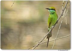 Green Bee eater (Gurusan2010) Tags: meropsorientalis tenkasi greenbeeeater littlegreenbeeeater canonef300mmf4lisusm birdsoftamilnadu