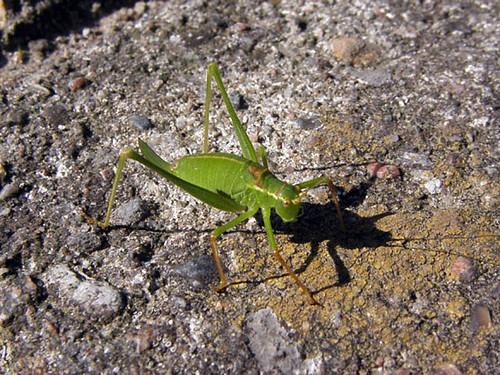 Knivgræshoppe