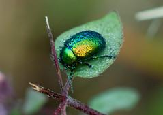 Green Beetle [EXPLORED] (Matteo Dunchi) Tags: macro green insect beatle daybreak scarabbeetle maggiolino pentacon28135 bokehmonster