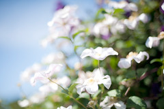 Y_DSC_7945 50_f14 whiteinablur (jim sedgley) Tags: pink white flower nature nikon bokeh clematis afnikkor50mmf14d d700