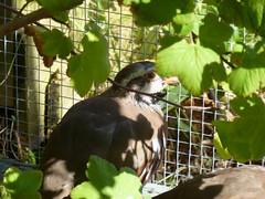 Zoot! (Magweno) Tags: life blue red sunshine birds animals garden french outdoors diy bath good wildlife sunny run poultry aviary dust legged quails partridges redlegged