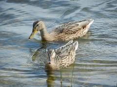 DSCN0119 (lordnoize) Tags: lake pond cumbria tarn carlisle talkin brampton talkintarn