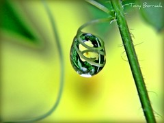 IMG_042 (Tony Borrach) Tags: sunset brazil flower macro green rio yellow closeup brasil riodejaneiro canon de is janeiro bresil flor brasilien drop tony powershot explore gota brasile sul brsil sudamerica americadosul brazili sudamrica sdamerika explorar   southamericaamrica a590 photoscape itagua itaguai tonyborrach wonderfulworldofmacro  sudamerique canonpowershota590is doublyniceshot doubleniceshot mygearandme mygearandmepremium mygearandmebronze mygearandmesilver mygearandmegold mygearandmeplatinum mygearandmediamond dblringexcellence melosocaetano flickrhivemindgroup artistoftheyearlevel3 flickrstruereflection1 21082011 tiposdeflorestropicais