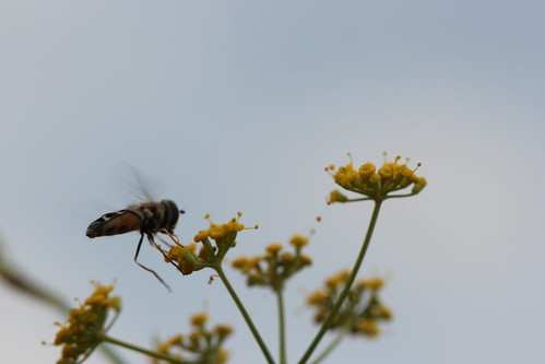 bzzz in the fennel