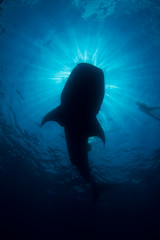 silhouette of kozy and whale shark (kozyndan) Tags: silhouette mexico shark underwater dive freediving whaleshark islamujeres kozy