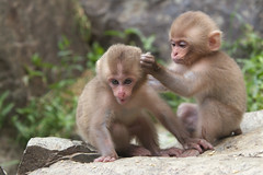 Good friends(Aug 22,2011 Explore ) (Masashi Mochida) Tags: baby snow japan monkey nagano jigokudani
