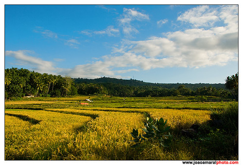 Cereal Fields @Baucau by joaoamaralphoto
