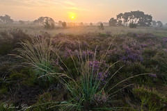 Sunrise (Joep de Groot) Tags: morning flowers trees mist fog sunrise heather heath hdr heathland veeven