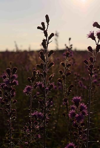 Purple 35
