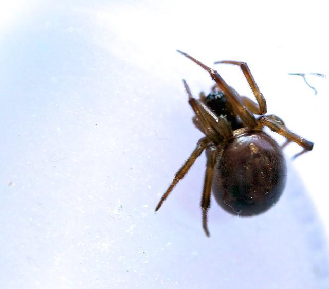 Spider Top