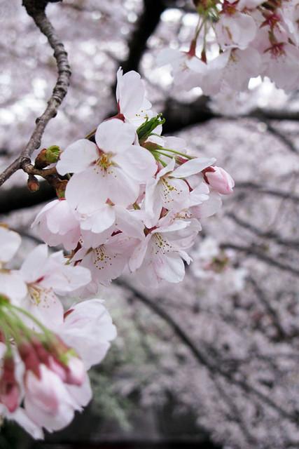 110409_163442_目黒川_桜