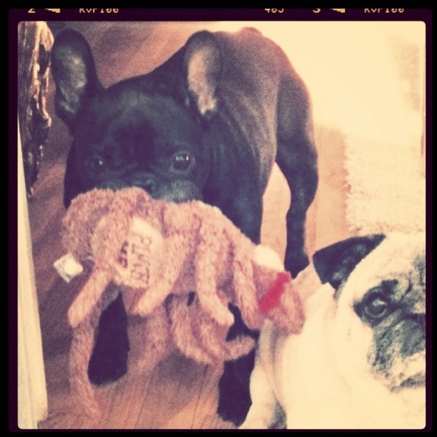 Serious about pest control... #LeRoy #Bebop #frenchbulldog #Frenchie #pug #dogs