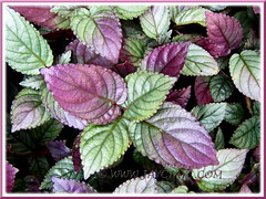 Hemigraphis alternata (Red Flame Ivy, Red Ivy, Cemetary Plant, Metal-leaf, Purple Waffle Plant), seen at Sg Klah Hot Springs, Sungkai