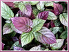 Hemigraphis alternata (Red Flame Ivy, Red Ivy, Cemetary Plant, Metal-leaf, Purple Waffle Plant)