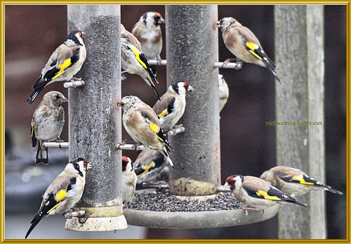 Goldfinches 8