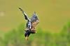 Eagle in flight - the acrobat (dickysingh) Tags: africa wild nationalpark kenya wildlife mara masaimara eastafrica maasaimara sunworldsafaris wwwranthambhorecom
