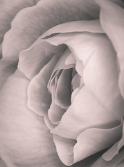 """1st rose of Spring • <a style=""""font-size:0.8em;"""" href=""""http://www.flickr.com/photos/44919156@N00/6105634114/"""" target=""""_blank"""">View on Flickr</a>"""